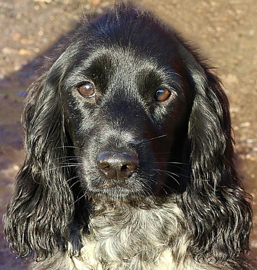 Pretty Pup by Chrissie Barrow - Animals - Dogs Portraits ( roan, cocker spaniel, pet, white, fur, ears, dog, nose, black, portrait, eyes )