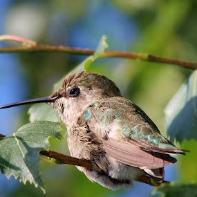 Resting Hummingbird by Brent Monique Makenzie Moran - Animals Birds ( canon, bird, washington, skagit, nature, 70d, hummingbird, nature up close, canon eos, humming bird, sedro-woolley, animal, hummer,  )