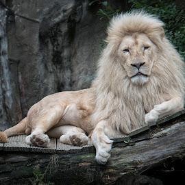 Poekie (2) by Esmeralda Holman - Animals Lions, Tigers & Big Cats ( wild, lion, whiet lion, male lion, animal )