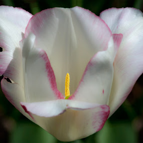 Tulip by Zoran Mrđanov - Flowers Single Flower (  )