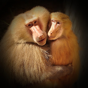 Lovers by Booba Booba - Animals Other Mammals ( love, lovers, hug, nature, monkey, animal )