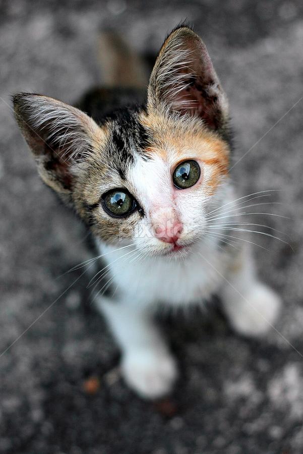 by Mohd Roslan Hisam - Animals - Cats Portraits ( cats,  )