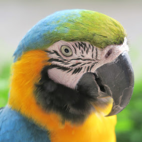 Macaw Close-up by Dennis  Ng - Animals Birds (  )