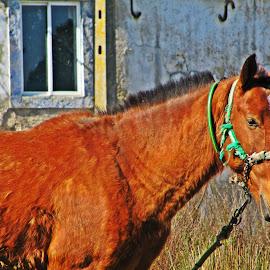 The beauty by Ana Arroseiro - Animals Horses ( animals, horses, rural,  )