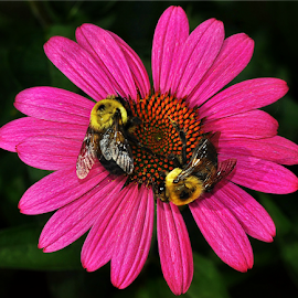 Two Busy Bees by B Lynn - Animals Insects & Spiders ( flower., bees., flowers., pink., bee. )
