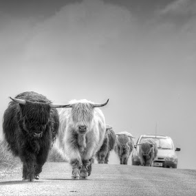 Highland Cattle by Stefen Dicks - Animals Other Mammals ( highland, car, scotland, traffic jam, highland cattle, road, travel, cattle )