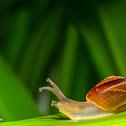 Brown garden snail.