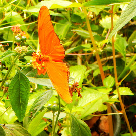 Julia Heliconian Butterfly 2 by Kristine Nicholas - Novices Only Wildlife ( butterfly, orange, green, insect, insects, leaves, macro, butterflies, bugs, nature, nature up close, bug, flowers, flower, berries )