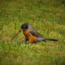 Early Bird Special by Shane Lusk - Novices Only Wildlife ( idaho, worm, rigby, feeding, robins )