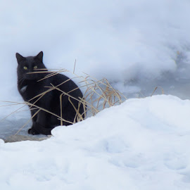 Sitting On Thin Ice by Julie Wooden - Animals - Cats Portraits ( winter, b&w, north dakota, nature, environmental portrait, black and white, ice, hebron, snow, outdoors, snowy, portrait, animal )