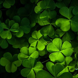 The Druid's viewfinder by Ashleigh Pienaar - Nature Up Close Other plants ( backlit, clovers, green, clover,  )