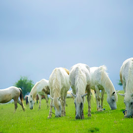 White horses by Costin Mugurel - Animals Horses ( animals, nature, grass, horse, landscape )