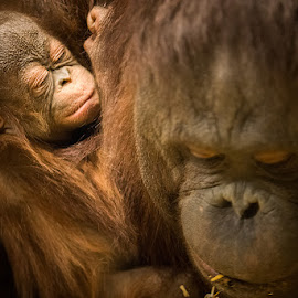 Mother and Child by Andrew Loftis - Animals Other Mammals ( omaha, animals, slt-a99, omaha zoo, a99, sony alpha, apes, wildlife, tamron sp 180mm f/3.5 di 1:1 macro, sony, henry doorly zoo, zoo, nature, orangutan, baby, primate, nebraska )