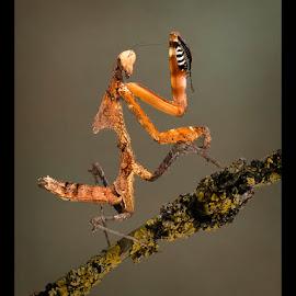 Praying Mantis by Lee Sutton - Animals Other ( colour, national geographic, nature up close, praying mantis, wonderful )