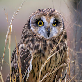 Wide Eyed by Carol Plummer - Animals Birds ( short-eared owl )