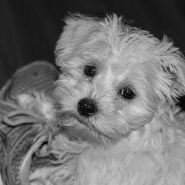 B&W Puppy in Shoe by Maureen McDonald - Black & White Animals ( b&w, maltese, spring 2016, puppy, northern kentucky )
