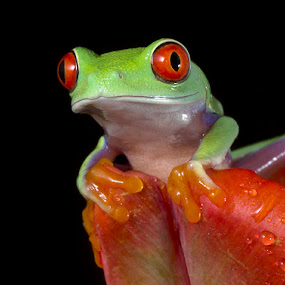 Little red eyes by Angi Wallace - Animals Amphibians