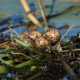 Jacana eggs by Amanda Habets - Nature Up Close Hives & Nests