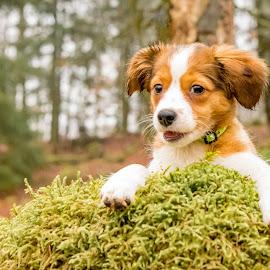 Taking a break by Colin Harley - Animals - Dogs Portraits ( tosca, pup, moss, nikkor, forest, cute, kooiker, d750, trees, puppy, dog, nikon, kooikerhondje, animal )