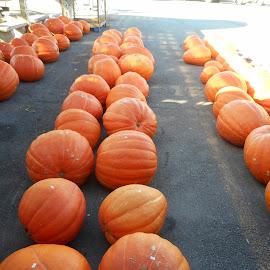 Pumpkins Galore by David Jarrard - Public Holidays Thanksgiving ( fruit, pumpkins, vegetables, halloween,  )