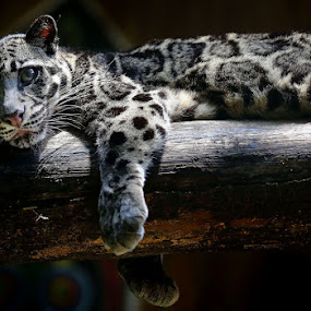 macan dahan by Esther Pupung - Animals Lions, Tigers & Big Cats (  )