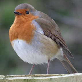 robin by Nick Parker - Animals Birds ( bird, robin,  )