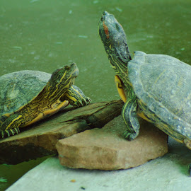 Turtle by Subroto Ghosh - Animals Amphibians ( shell, aquatic, amphibian, turtles, animal )