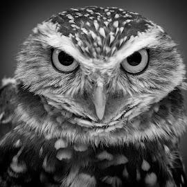 Portrait of a burrowing owl by Sandy Scott - Black & White Animals ( bird, owl portrait, predator, birds of prey, burrowing owl, animals, nature, eye contact, black & white, owl, wildlife, raptor, eyes,  )