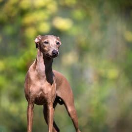 Italian Greyhound outdoor portrait by Luigi Panico - Animals - Dogs Portraits ( pet photography, dog portrait, cute, pet portrait, italian greyhound, pet, sunny, outdoor, greyhound, sighthound, dog portraits, dog, cute dog, garden )