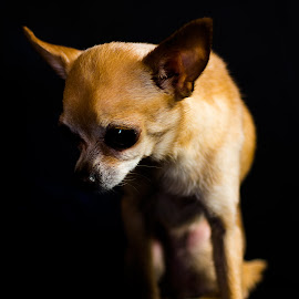 Pia by Rune Nilssen - Animals - Dogs Portraits ( studio, pentaxk3, godox, chiahuahua, best, pentax, dog, teacup, competition, norway,  )