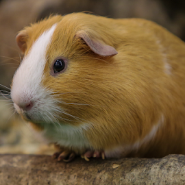 Guinea Pig by Nancy Merolle - Animals Other Mammals ( animal., pet, rodent, mammal, guinea pig )
