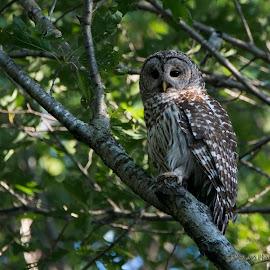 Barred owl by Scott Pietig - Uncategorized All Uncategorized ( adult owl, minneapolis, barred owl, owl )