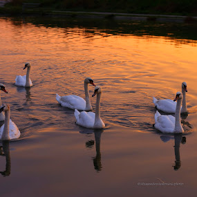 swan at sunset by Alessandra Antonini - Animals Birds ( water, swans, sunset, lake, gold, seascape )