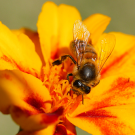 more by Cornel Robinson - Animals Insects & Spiders ( bee, petals, wings, sunlight, flowers, garden, spring, colours )