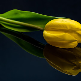 reflecting  by Shane R Fairburn - Flowers Single Flower ( reflection, tulips, yellow, flowers, flower )
