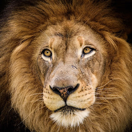 The King! by William Sawtell - Animals Lions, Tigers & Big Cats ( potrait, lion, king of the jungle, wildlife, male lion )