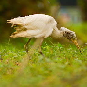 I Got You Cricket by Hadinata Lim - Animals Birds ( bird young stork park cricket )