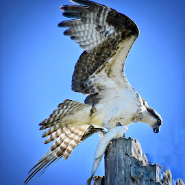 Osprey with Evening Meal by Lorna Littrell - Animals Birds ( bird, bird of prey, nature, osprey )
