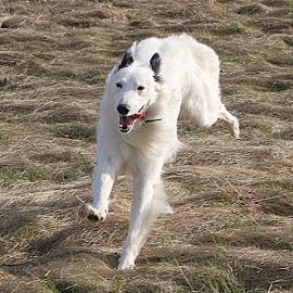 Happy Gyp by Chrissie Barrow - Animals - Dogs Running ( field, tongue, grass, pet, white, ears, fur, legs, dog, running, lurcher )