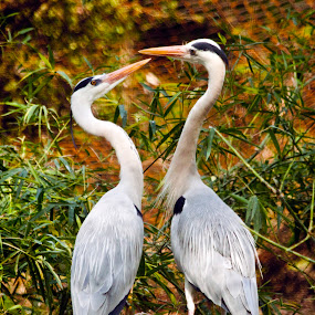 Gray Egrets in Love by Md Mukibul Islam - Animals Birds ( bird, wildlife, gray egret, egrets )