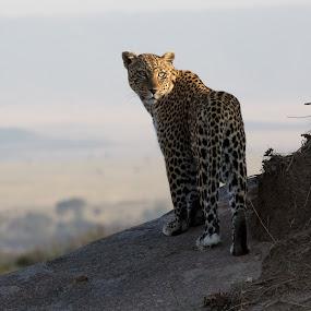 Leopard by VAM Photography - Animals Lions, Tigers & Big Cats ( nature, serengeti, tanzania, landscape, leopard, animal,  )