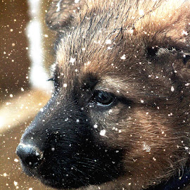 First Snow by Dawn Vance - Animals - Dogs Puppies ( outdoors, snow, snowflake, snowy, puppy, german shepherd, snowing, animal )