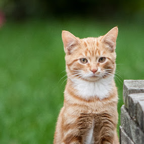 Orange by Relu Jianu - Animals - Cats Kittens ( cats, kitten orange )