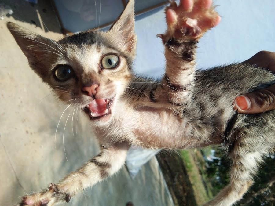 Cats  by Suba Lakshmi - Animals - Cats Playing