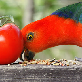 Same colour by Glenys Lilley - Food & Drink Fruits & Vegetables ( red, tomato, parrot, bir, pwcvegetables, vegetable, king )