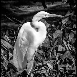 Great Egret by Dave Lipchen - Black & White Animals ( great egret )