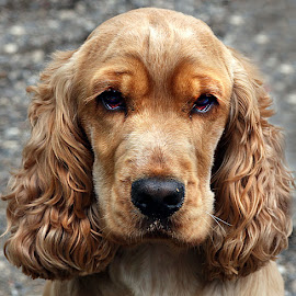 Ted by Chrissie Barrow - Animals - Dogs Portraits ( curly, red, cocker spaniel, pet, male, fur, ears, dog, nose, tan, portrait, eyes,  )