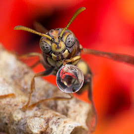 Wasp 150401A by Carrot Lim - Animals Insects & Spiders (  )