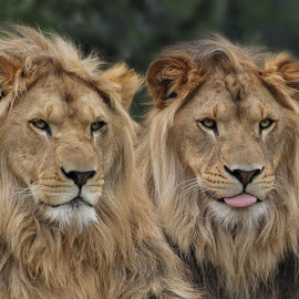 male by Anja Voorn - Animals Lions, Tigers & Big Cats