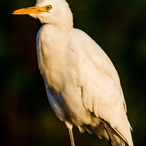 Egret by Gurucharan Shamji - Animals Birds